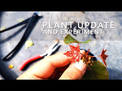 Plant update and Experiment - Juli 2019 🌶🍁🌱
