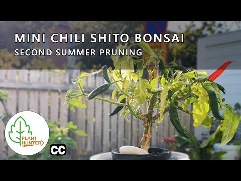 Mini Chili Shito Bonsai - Second summer pruning #PlantHunter