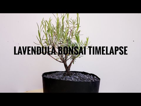 Lavendula bonsai Timelapse - Plant Hunter June 2019