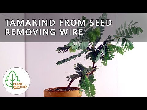 Tamarind from seed - Removing wire - Jan 2020