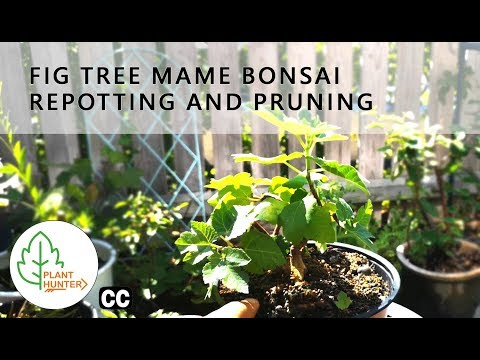 Fig tree extreme root pruning and repotting Mame Bonsai - #PlantHunter