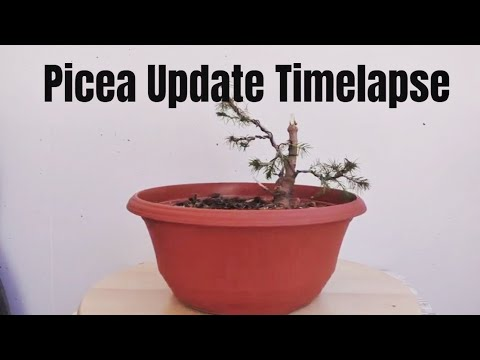 Picea Spruce Tree Timelapse - June 2019
