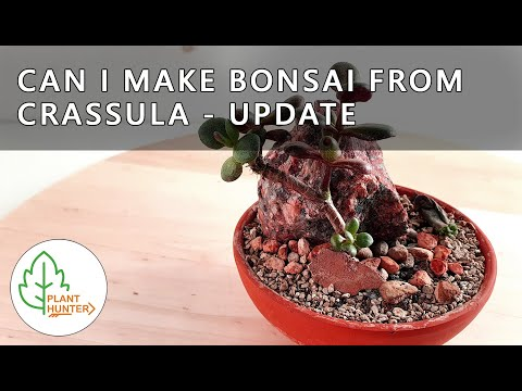 Can i Make Bonsai from Crassula Succulent Bonsai Update
