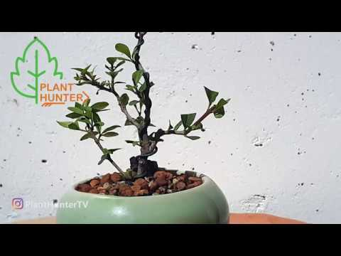 Ligustrum Shohin Bonsai pruning