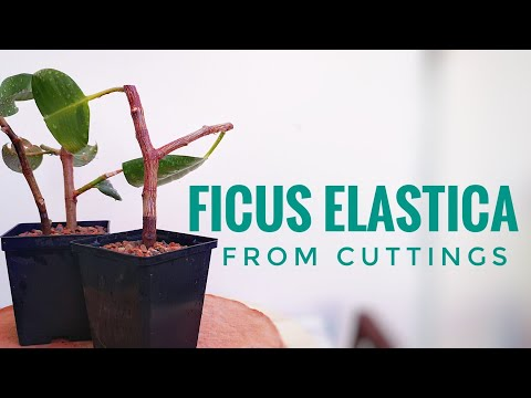 Ficus elastica propagation from cuttings | PLANT HUNTER
