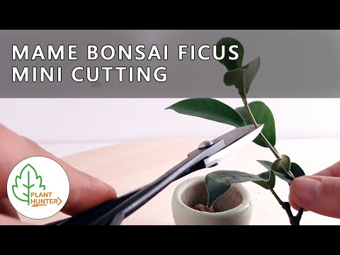 Mame Bonsai Ficus - Planting a mini cutting