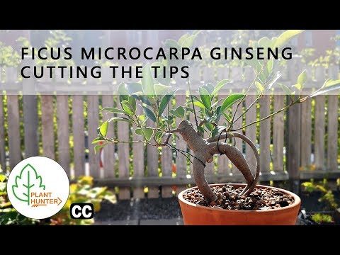 Ficus microcarpa Ginseng - Cutting the tips - September 2019 #PlantHunter