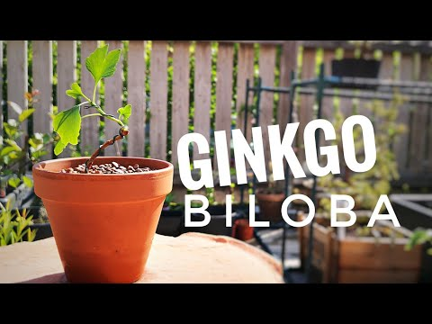 Ginkgo biloba from seed - First repotting - June 2019