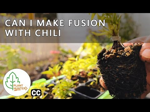 Can i make Fusion with Chili peppers - 3 Different Seeds #PlantHunterTV
