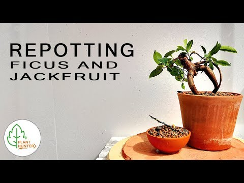 Repotting Ficus and Jackfruit #PlantHunter
