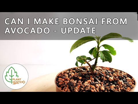 Can I Make Bonsai From Avocado🥑 - Update - October 2019 #PlantHunter